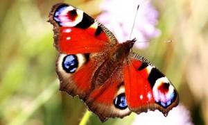 butterfly-460x276